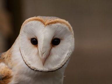 Owls (Y1/2)