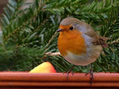 Robins (Y1/2)