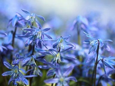 Bluebells (Y3)