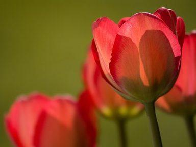 Tulips (Y4)