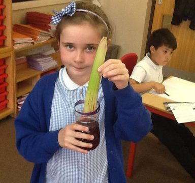 How does water transport through a plant?
